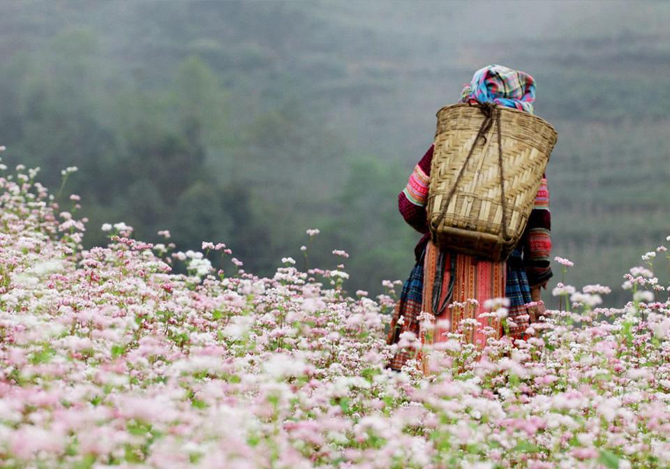 buckwheat flower fields